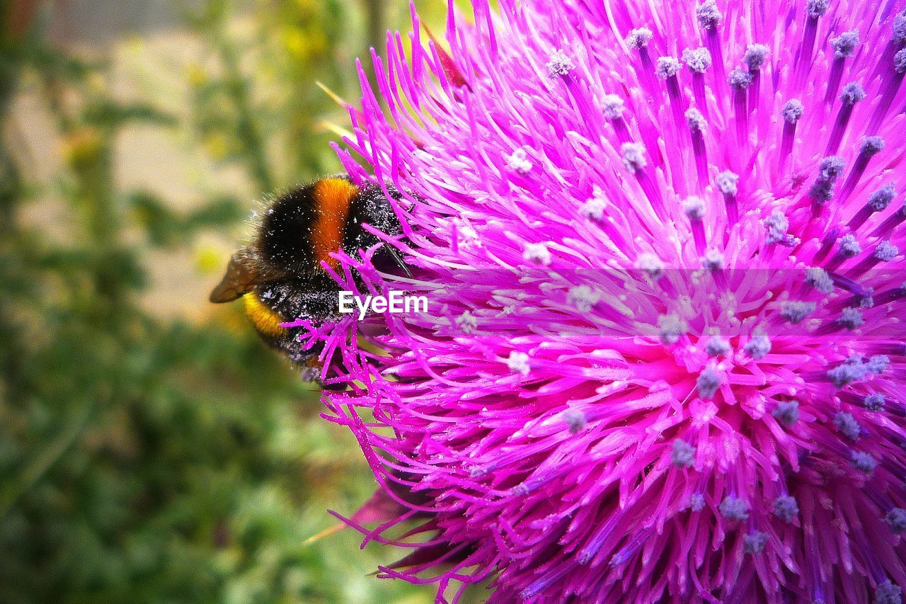 flower, purple, insect, fragility, beauty in nature, freshness, petal, animal themes, nature, growth, one animal, animals in the wild, bee, flower head, day, pollination, no people, plant, outdoors, bumblebee, pink color, close-up, blooming, eastern purple coneflower