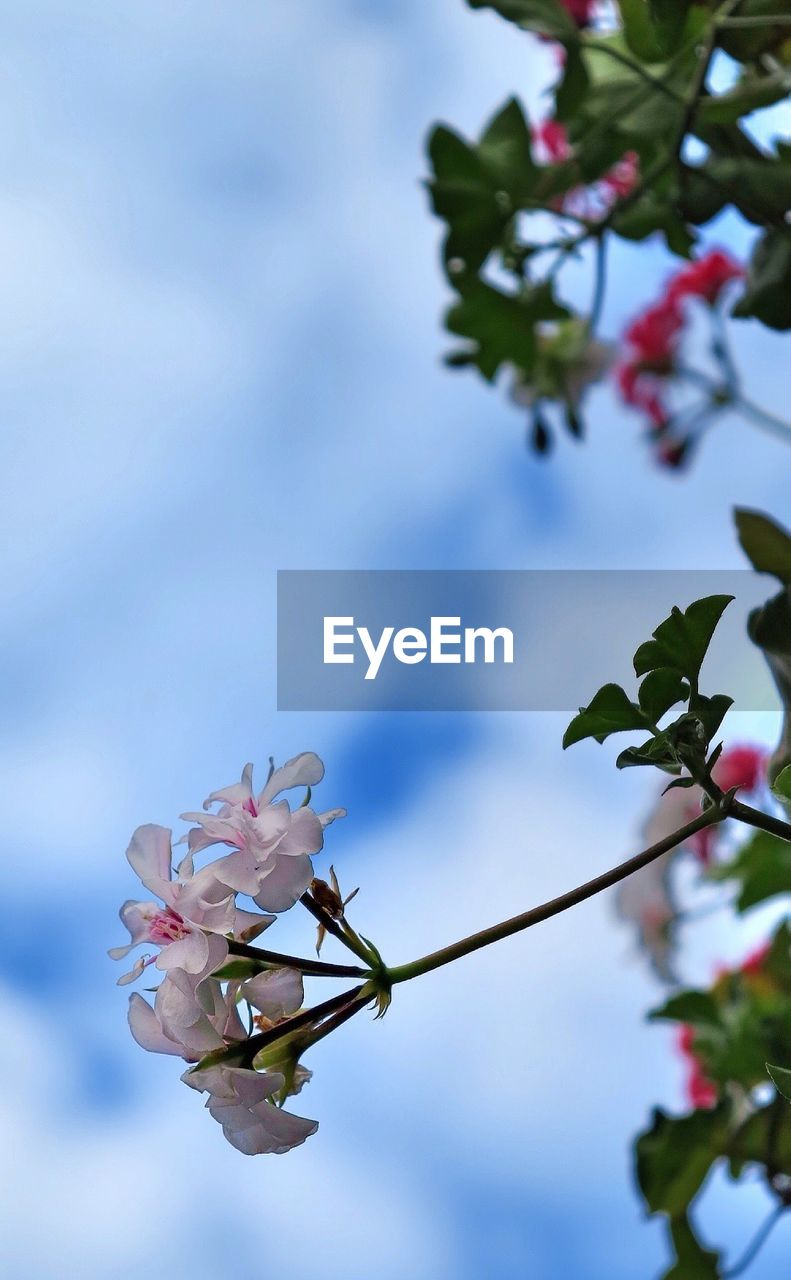 flower, fragility, beauty in nature, petal, growth, nature, freshness, blossom, flower head, white color, day, no people, pink color, twig, blooming, springtime, outdoors, plant, tree, branch, close-up, leaf, sky