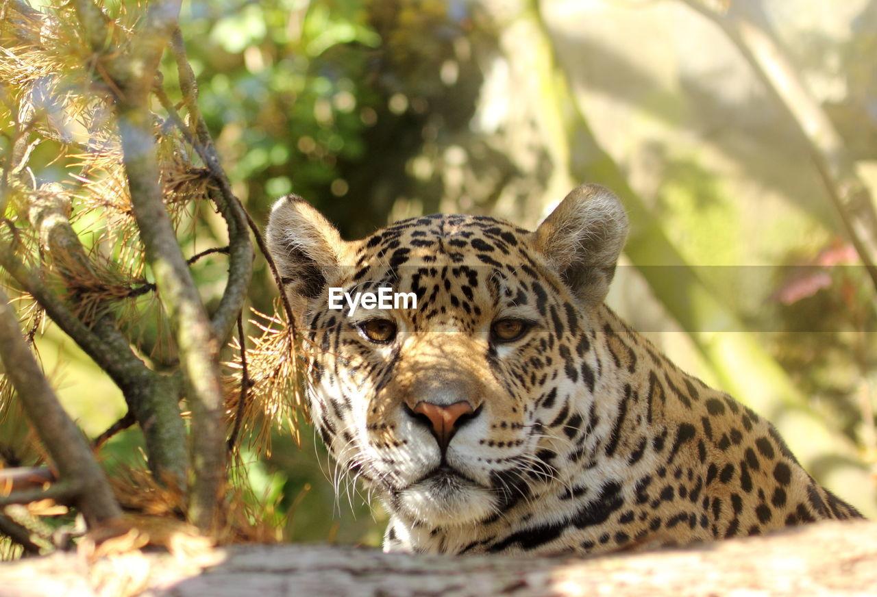 Portrait of leopard relaxing by trees