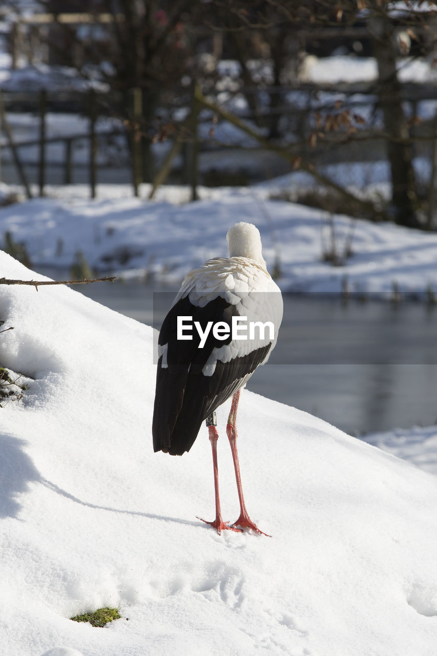 snow, cold temperature, animal themes, vertebrate, animal, animals in the wild, bird, winter, animal wildlife, one animal, white color, focus on foreground, nature, day, no people, perching, land, frozen, outdoors, stork