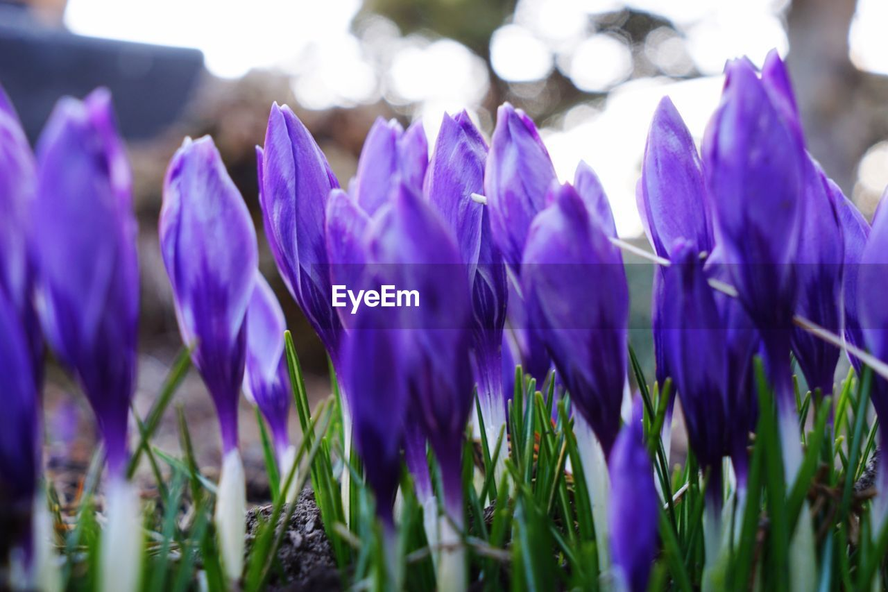 flower, purple, beauty in nature, growth, fragility, petal, nature, freshness, plant, selective focus, flower head, close-up, no people, day, field, outdoors, crocus, blooming, hyacinth