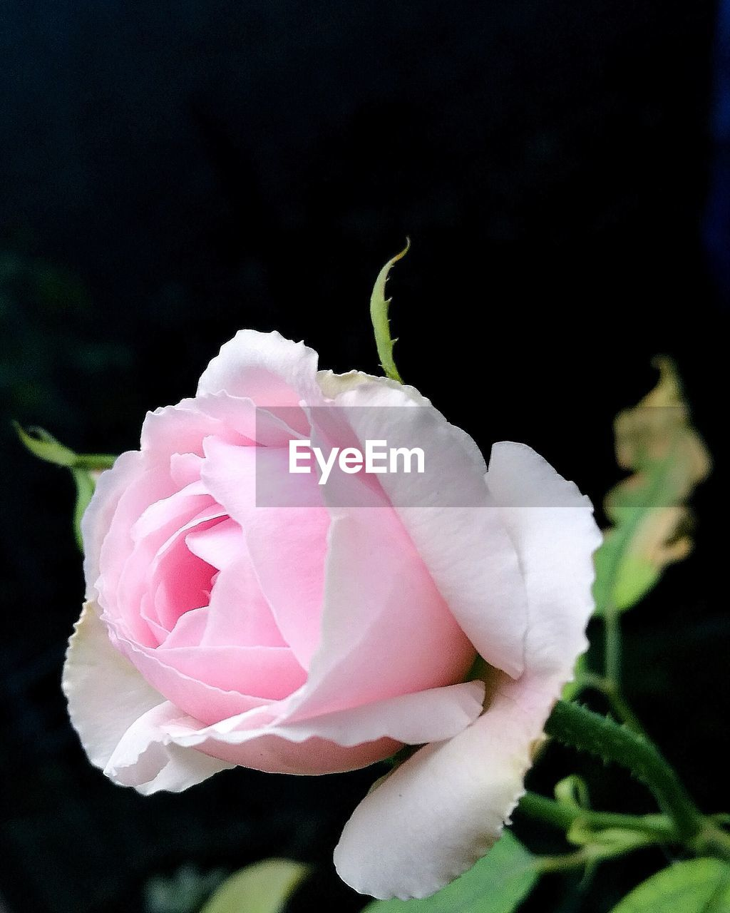 flower, flowering plant, plant, vulnerability, beauty in nature, fragility, freshness, petal, pink color, close-up, growth, rose, inflorescence, flower head, rose - flower, nature, focus on foreground, selective focus, leaf, outdoors, no people, black background