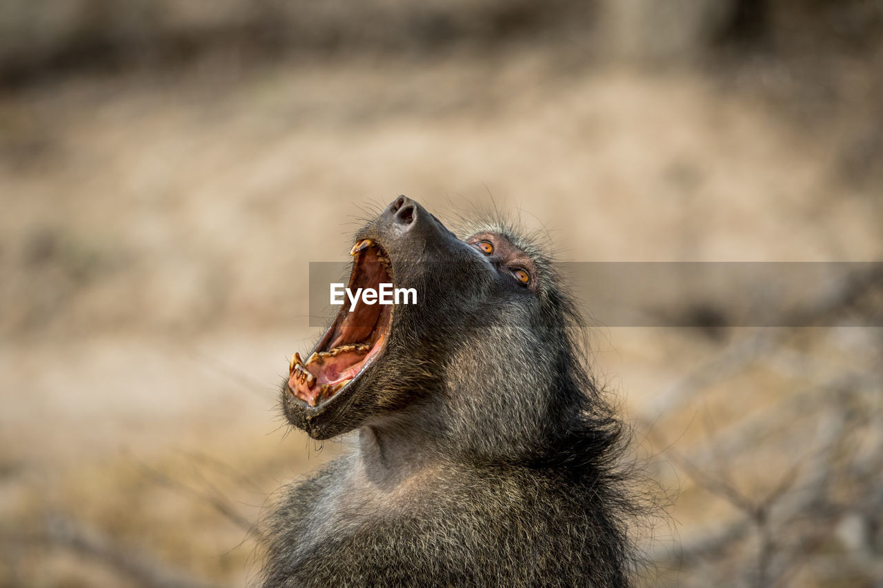 animal themes, animal, animal wildlife, one animal, animals in the wild, vertebrate, focus on foreground, mammal, mouth open, mouth, close-up, no people, day, nature, primate, looking, monkey, animal body part, looking away, outdoors, animal head, animal mouth, baboon