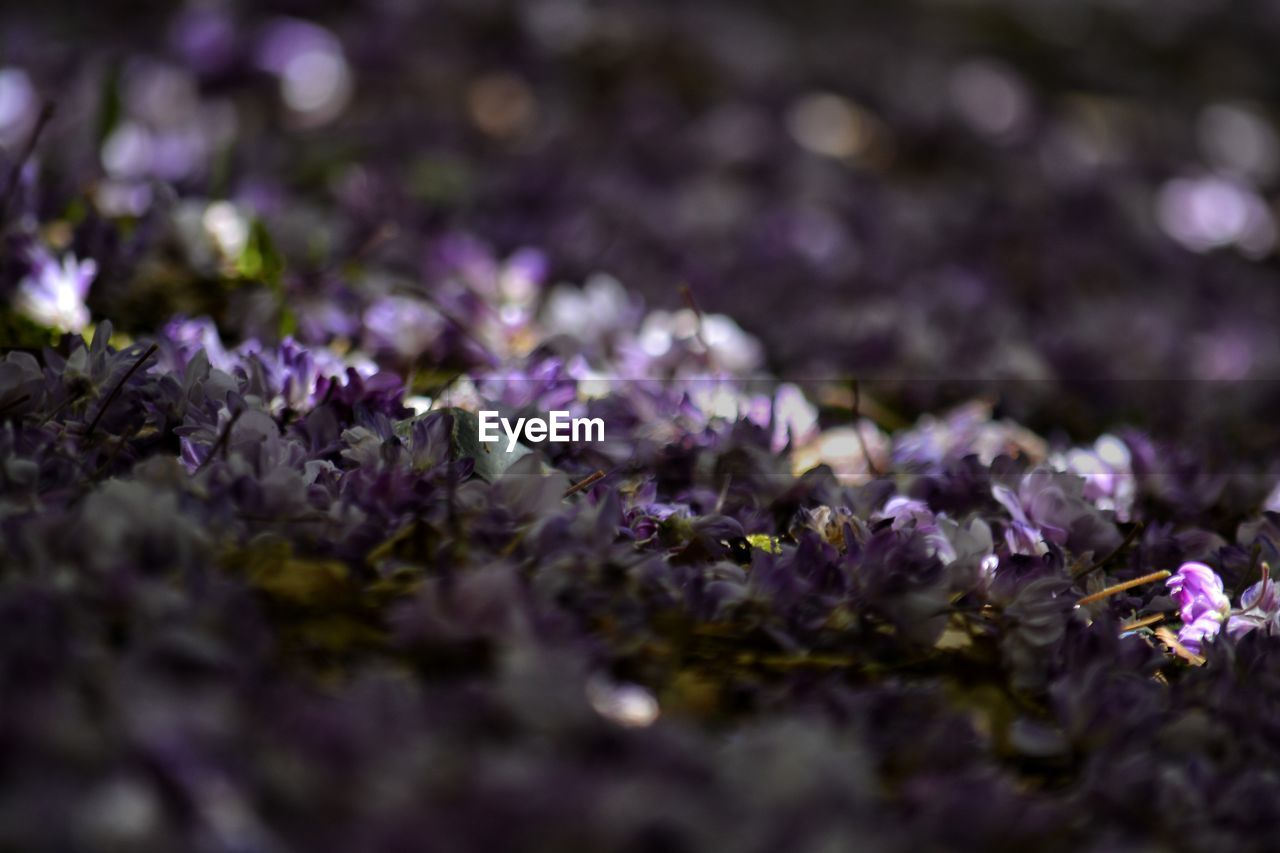 flower, freshness, purple, vulnerability, beauty in nature, fragility, selective focus, flowering plant, plant, growth, close-up, nature, no people, petal, day, outdoors, lavender, flower head, inflorescence, botany, springtime, lilac