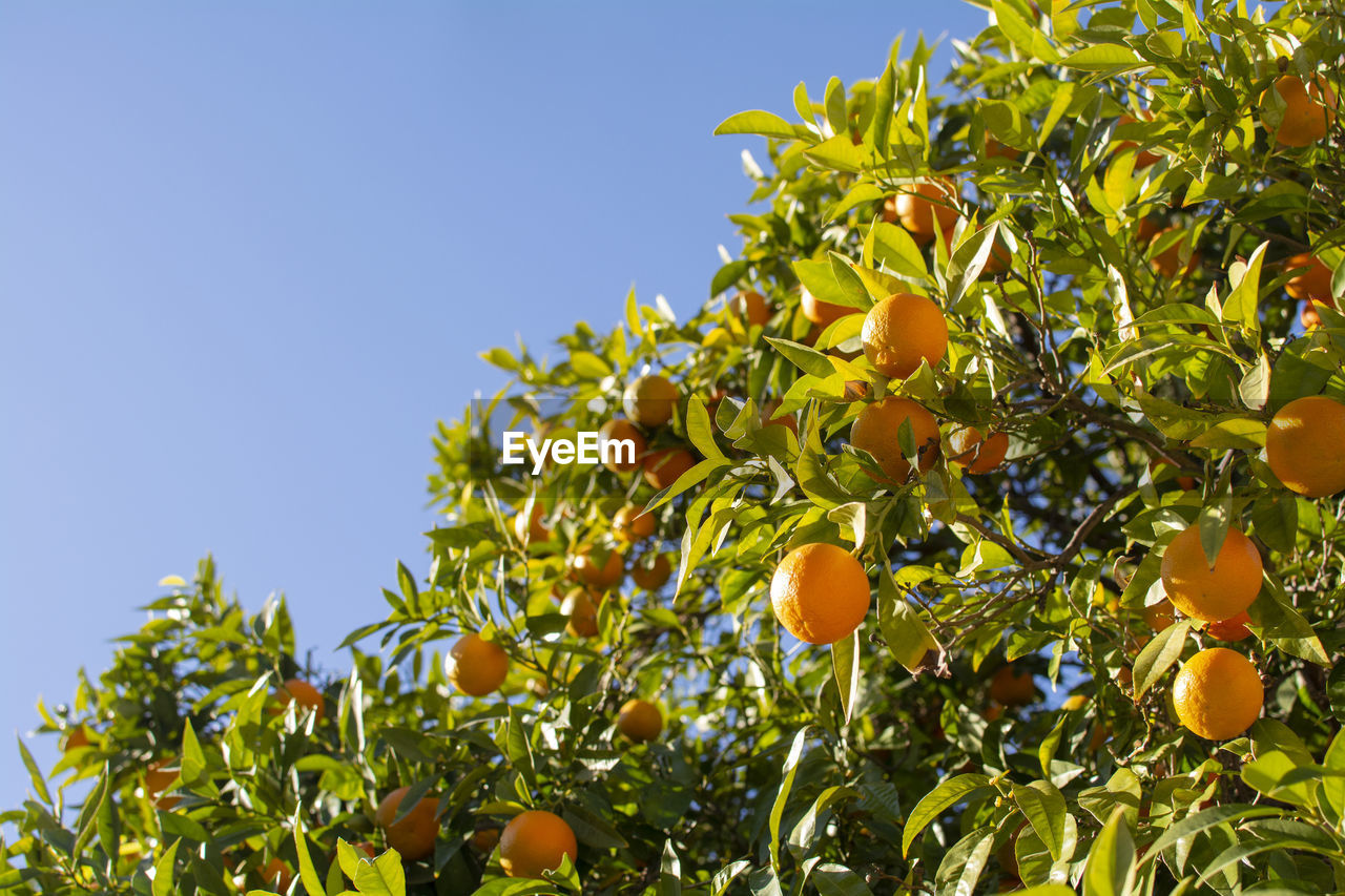 fruit, healthy eating, growth, plant, food and drink, food, tree, freshness, sky, plant part, nature, leaf, fruit tree, clear sky, orange tree, low angle view, citrus fruit, green color, no people, wellbeing, orange, organic, outdoors, ripe