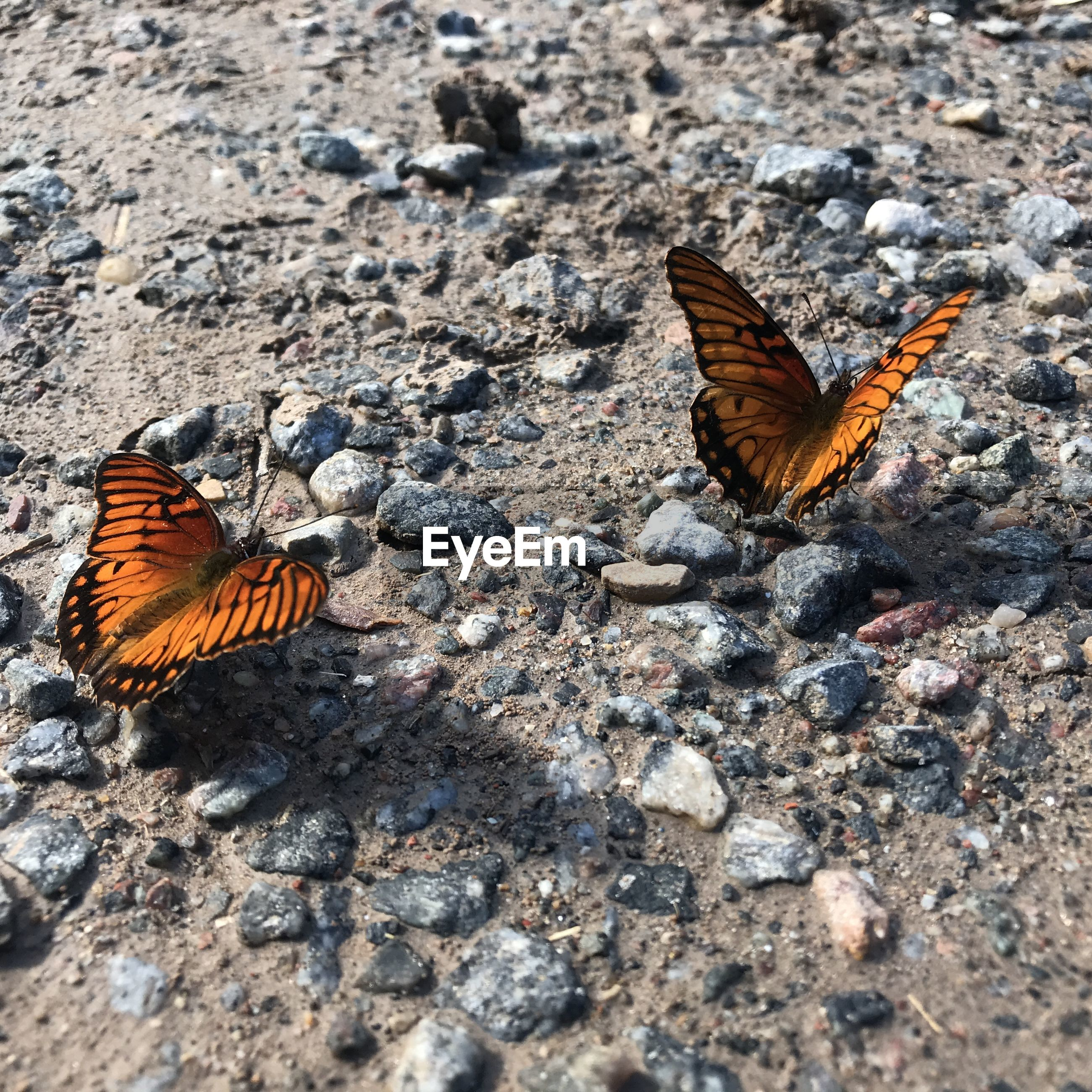 Butterflies on land