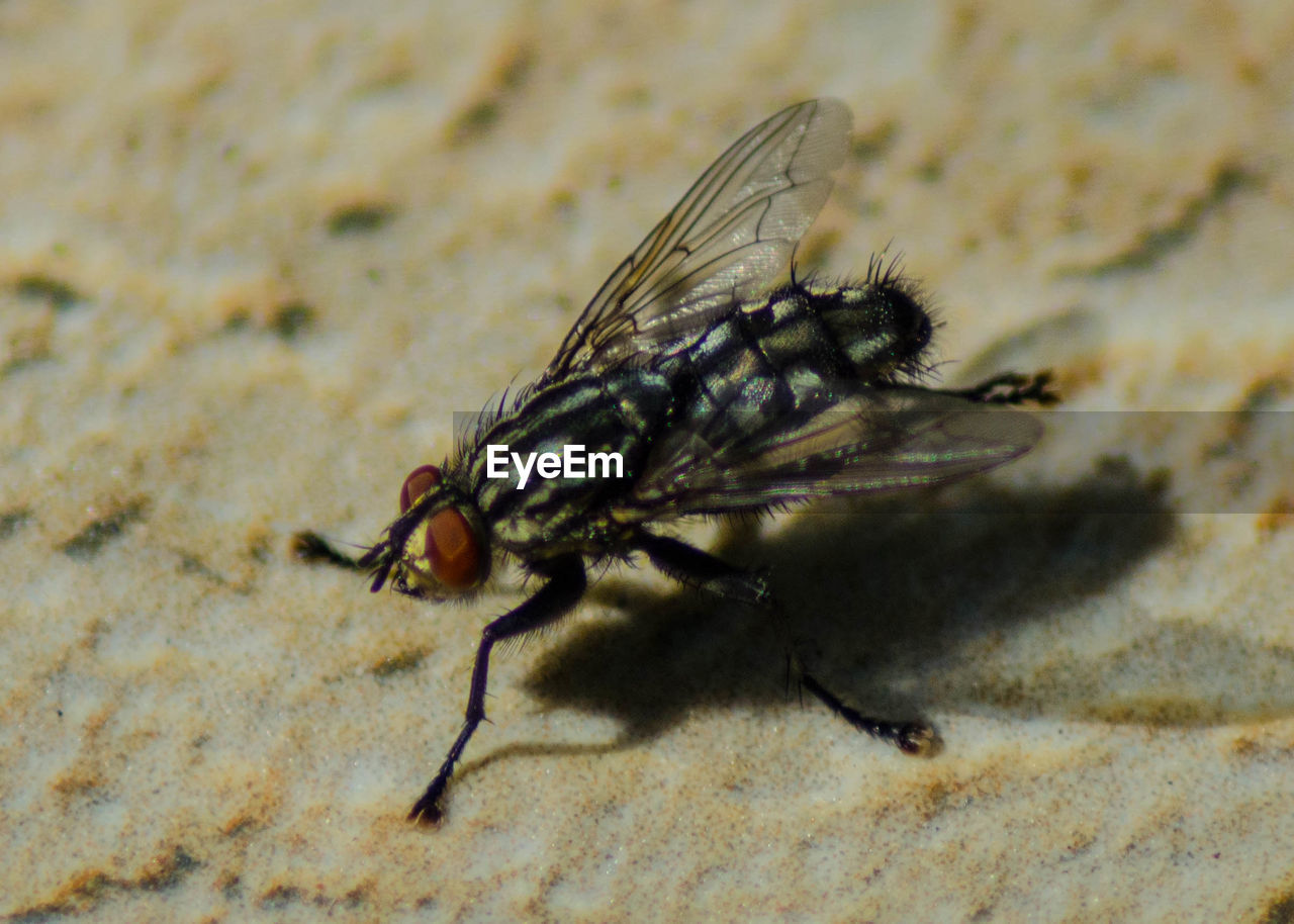 one animal, invertebrate, animal wildlife, animals in the wild, insect, animal wing, close-up, fly, no people, nature, housefly, day, outdoors, full length, animal body part, extreme close-up, arthropod