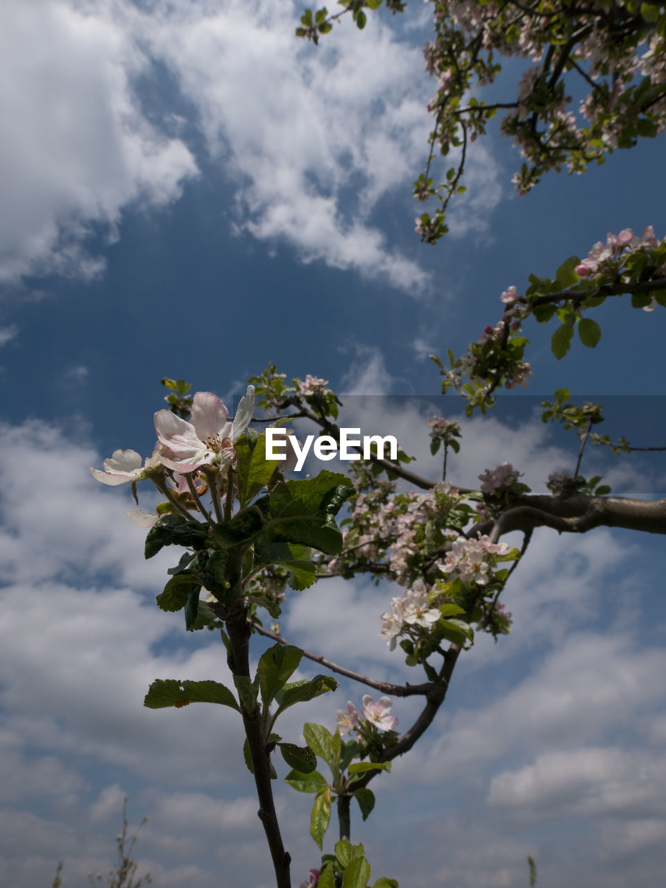 flower, cloud - sky, fragility, tree, nature, beauty in nature, sky, blossom, growth, low angle view, branch, white color, no people, freshness, springtime, day, petal, outdoors, close-up, flower head