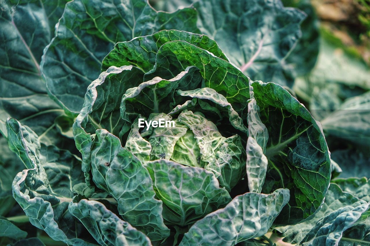Close-up of cabbage growing outdoors