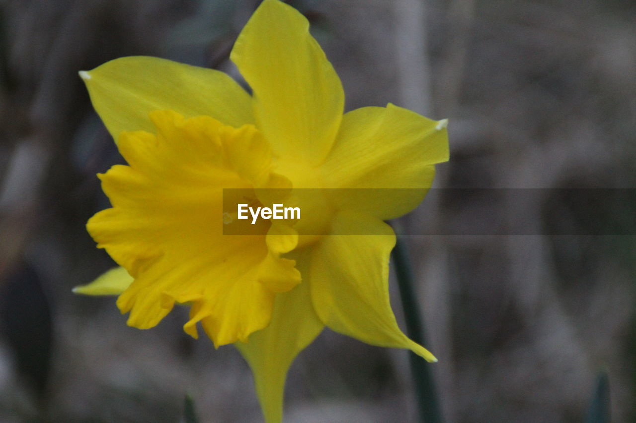 flower, petal, yellow, fragility, flower head, growth, beauty in nature, freshness, nature, plant, close-up, blooming, daffodil, outdoors, no people, day