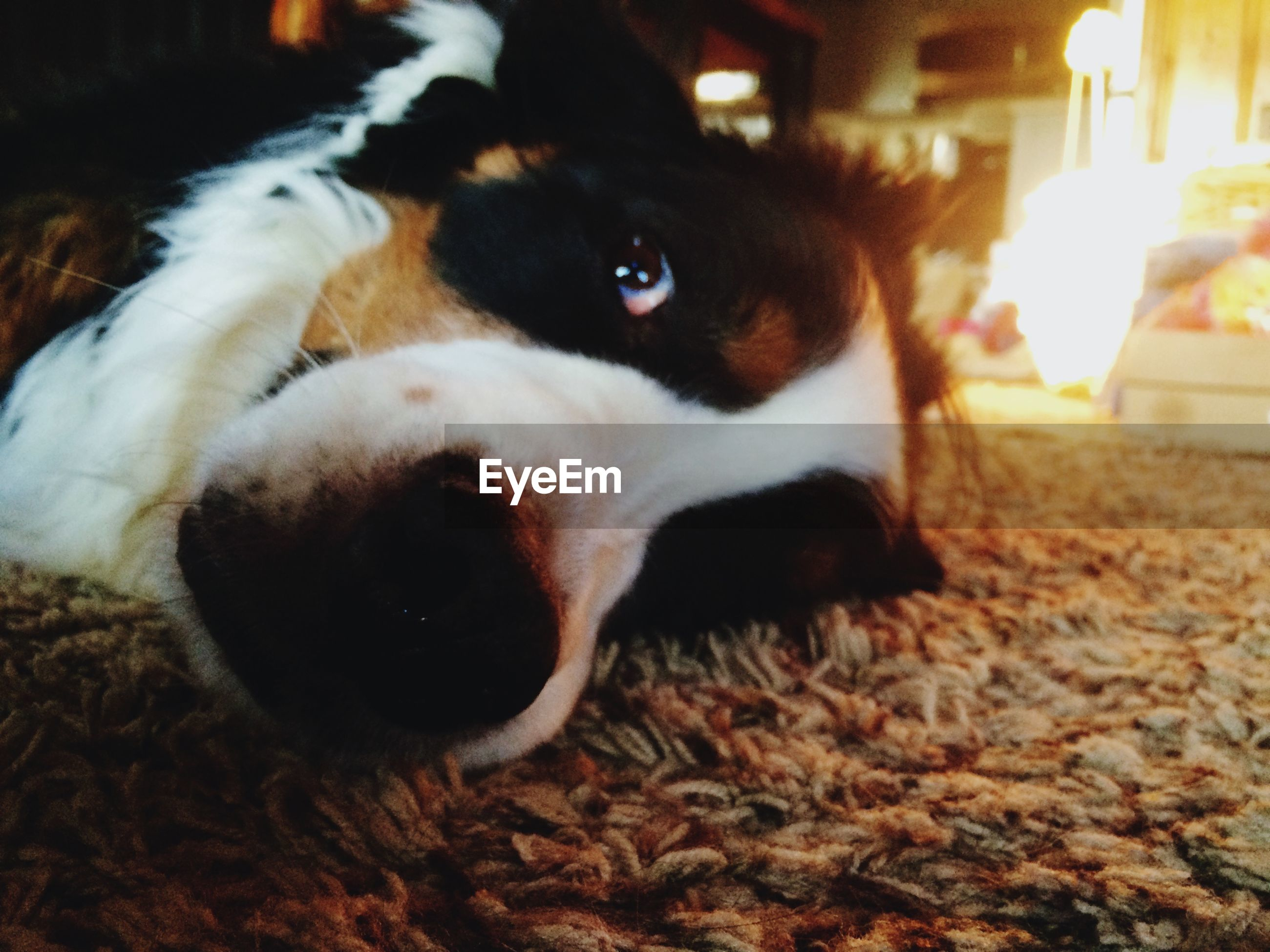 domestic animals, pets, animal themes, mammal, dog, one animal, indoors, looking at camera, portrait, relaxation, night, no people, close-up, animal head, home interior, selective focus, lying down, resting, focus on foreground, white color