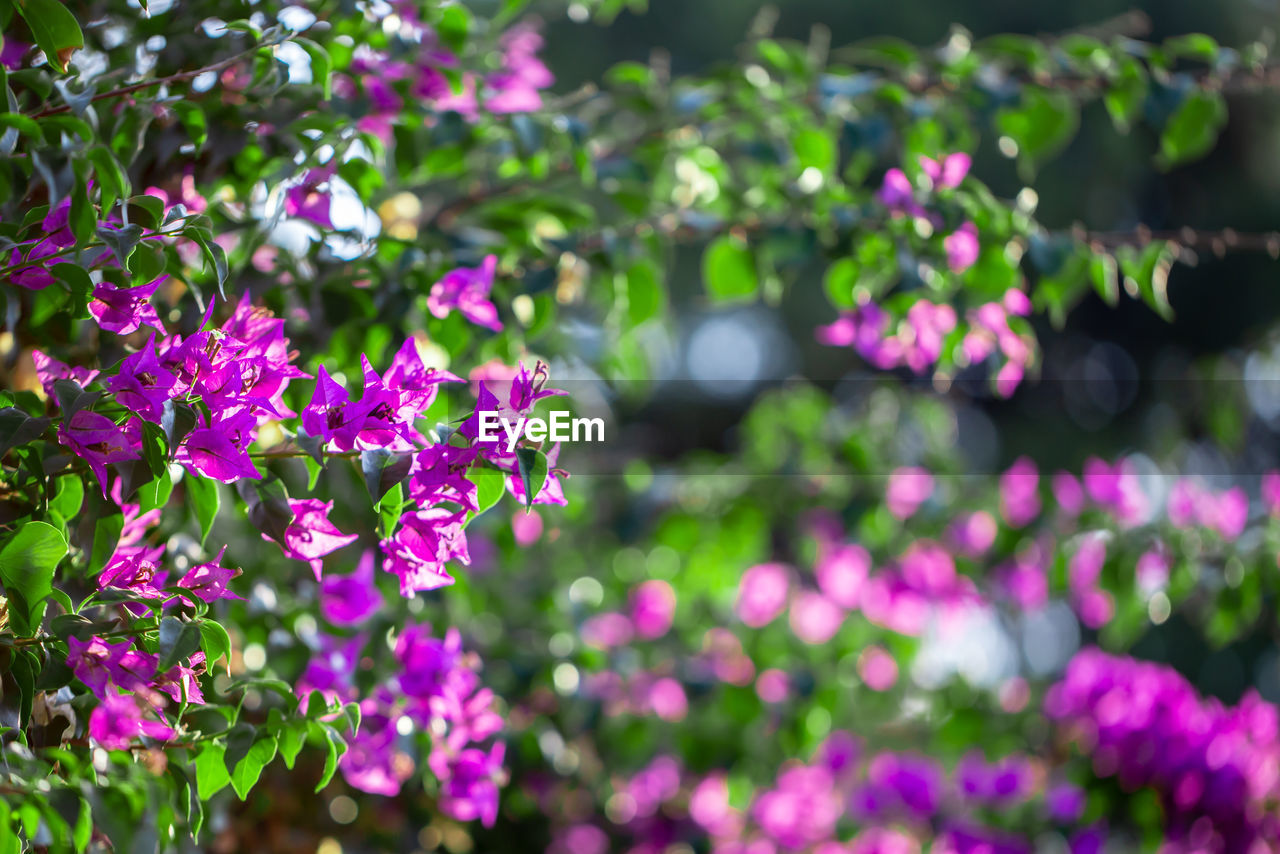 flower, flowering plant, plant, freshness, beauty in nature, growth, pink color, fragility, vulnerability, petal, close-up, nature, day, flower head, focus on foreground, no people, inflorescence, botany, plant part, leaf, outdoors, purple, springtime, bunch of flowers, lilac