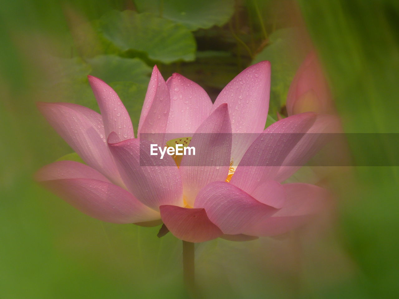 petal, beauty in nature, flower, nature, pink color, growth, flower head, fragility, close-up, plant, day, no people, freshness, lotus water lily, outdoors, blooming