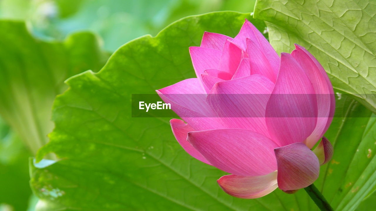 leaf, flower, petal, beauty in nature, fragility, nature, growth, freshness, pink color, green color, flower head, plant, no people, close-up, blooming, day, outdoors, lotus water lily