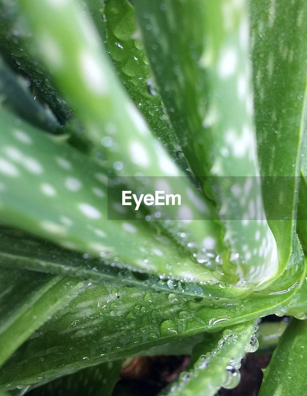 green color, growth, leaf, drop, plant part, plant, close-up, no people, wet, freshness, water, full frame, beauty in nature, nature, day, backgrounds, outdoors, aloe vera plant, selective focus, raindrop, dew, purity