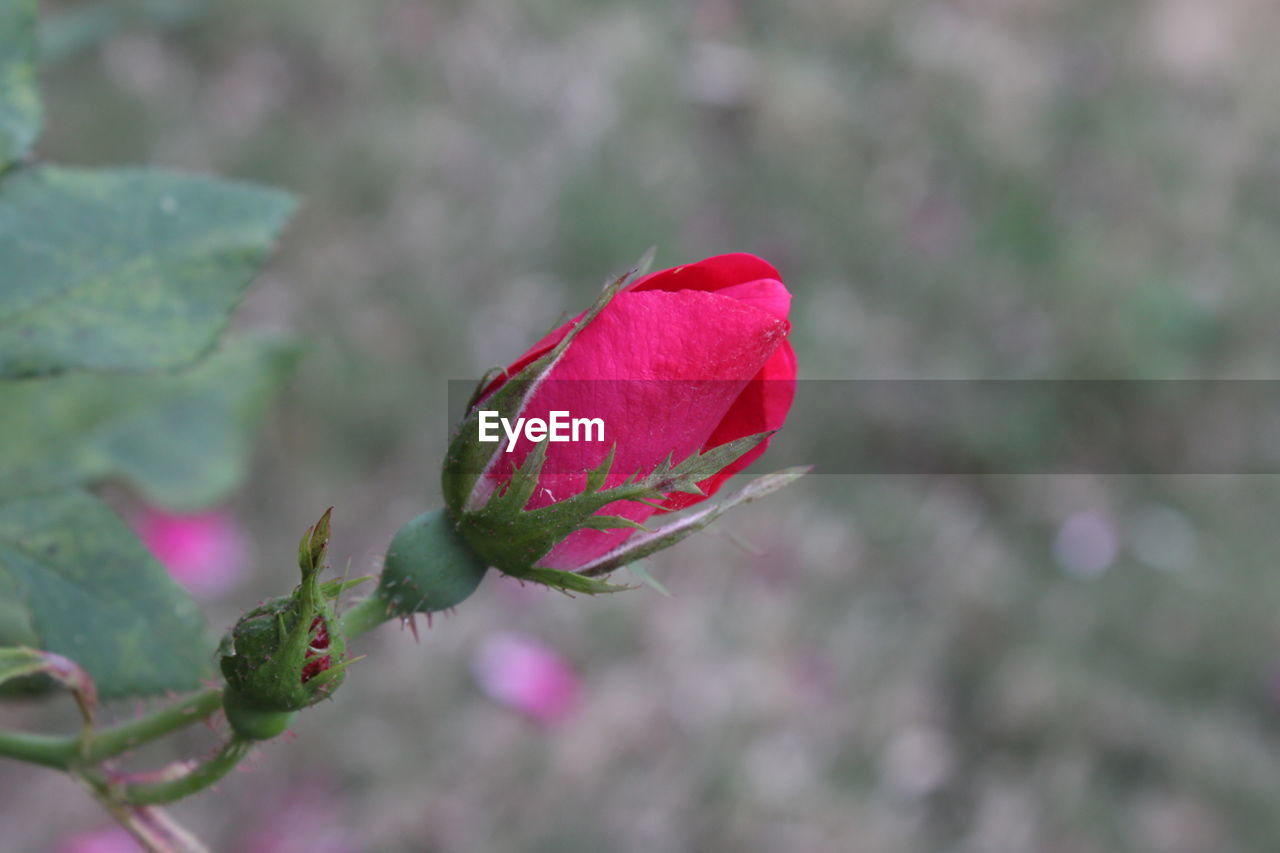 red, nature, growth, flower, plant, fragility, leaf, pink color, day, outdoors, close-up, beauty in nature, focus on foreground, petal, green color, no people, new life, freshness, flower head, water