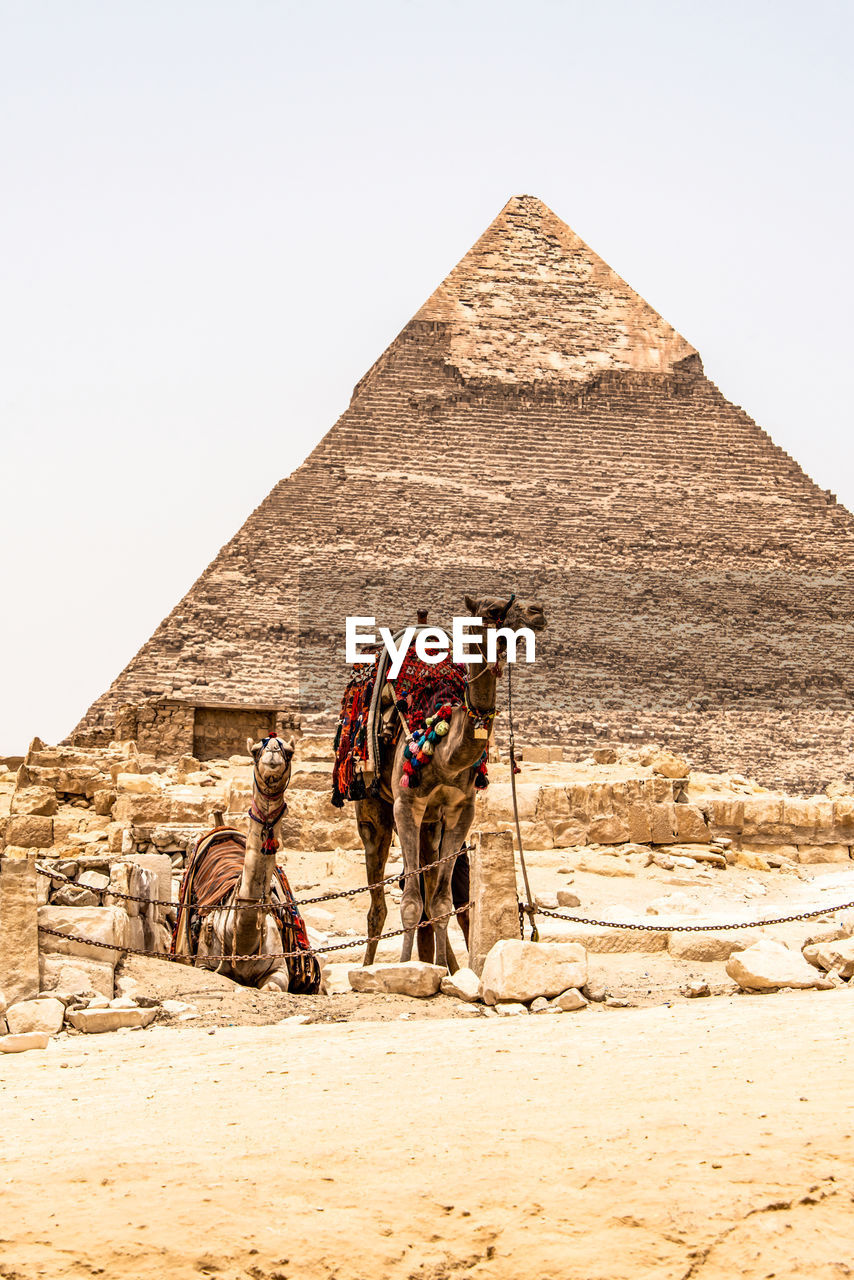 animal themes, pyramid, domestic animals, working animal, animal, nature, vertebrate, ancient, ancient civilization, the past, camel, desert, architecture, mammal, climate, history, built structure, day, pets, sky, arid climate, outdoors, no people, herbivorous, archaeology