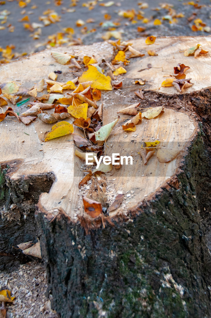 CLOSE-UP OF AUTUMN LEAVES ON TREE TRUNK