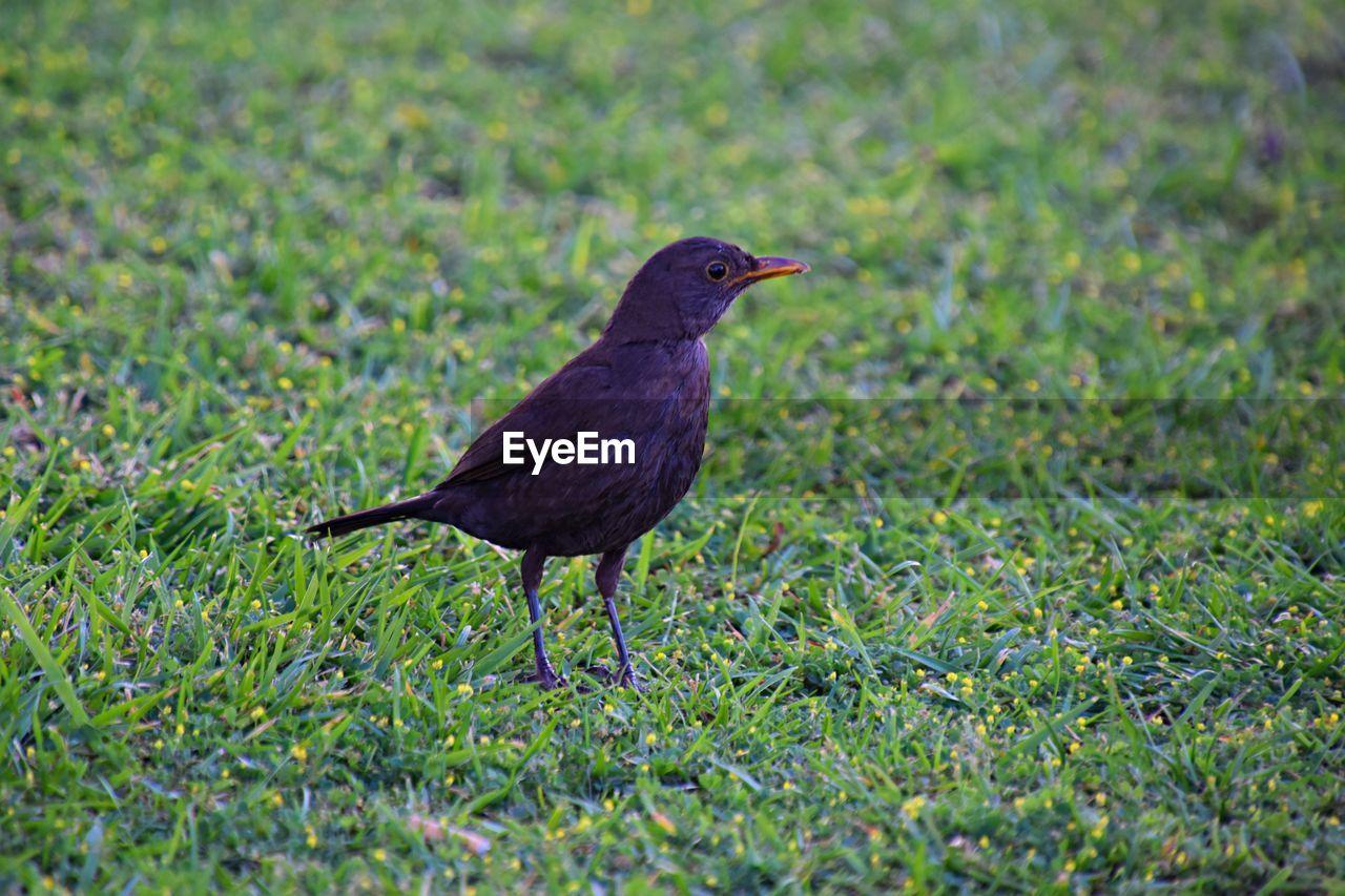 BLACK BIRD ON FIELD
