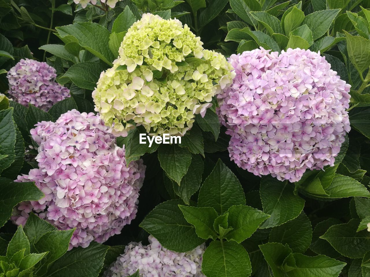 growth, flower, leaf, plant, beauty in nature, freshness, fragility, nature, green color, no people, petal, purple, lilac, day, close-up, outdoors, blooming, flower head, lantana camara