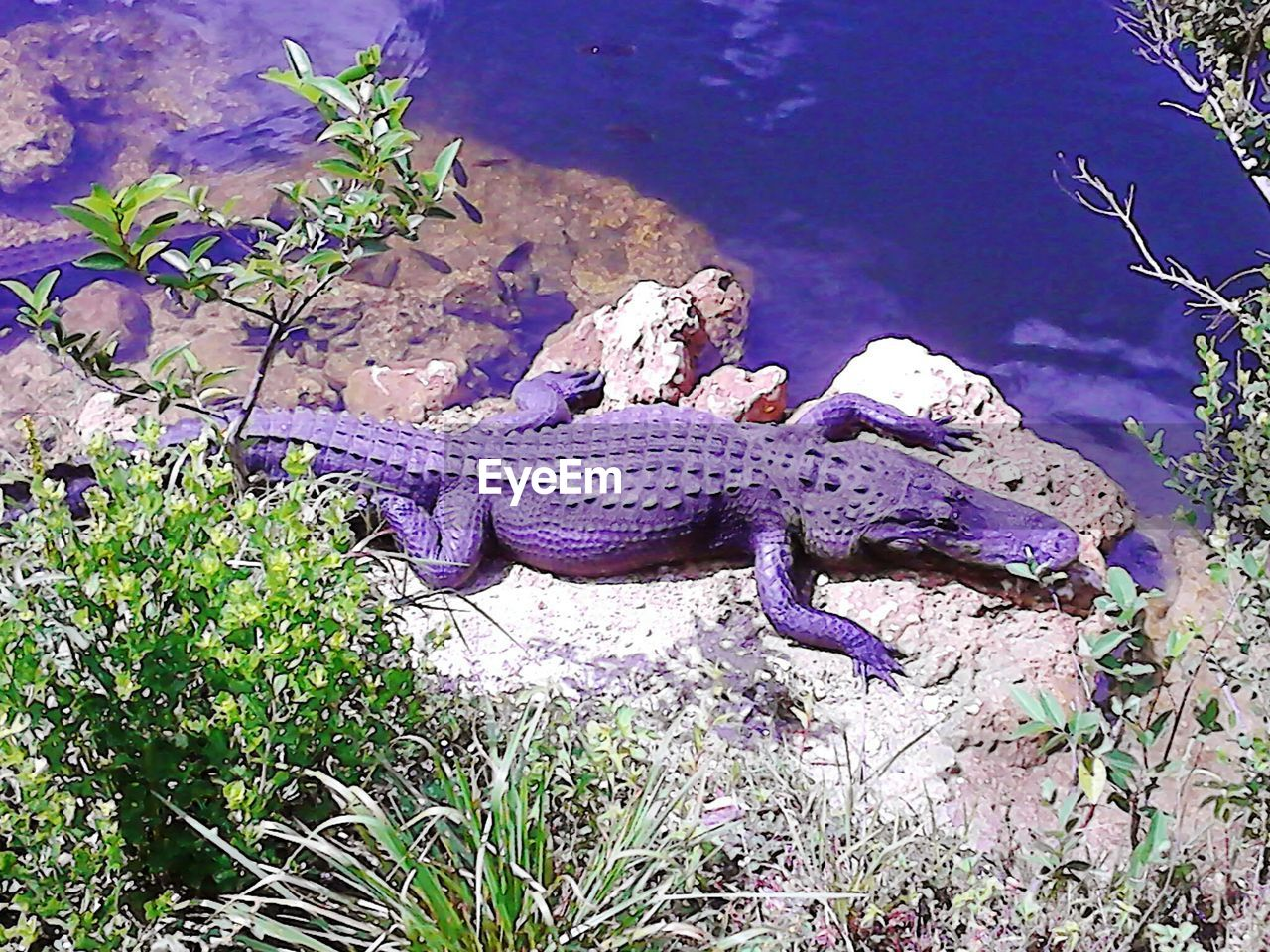 reptile, animals in the wild, animal themes, one animal, animal wildlife, no people, nature, day, outdoors, water, beauty in nature, close-up