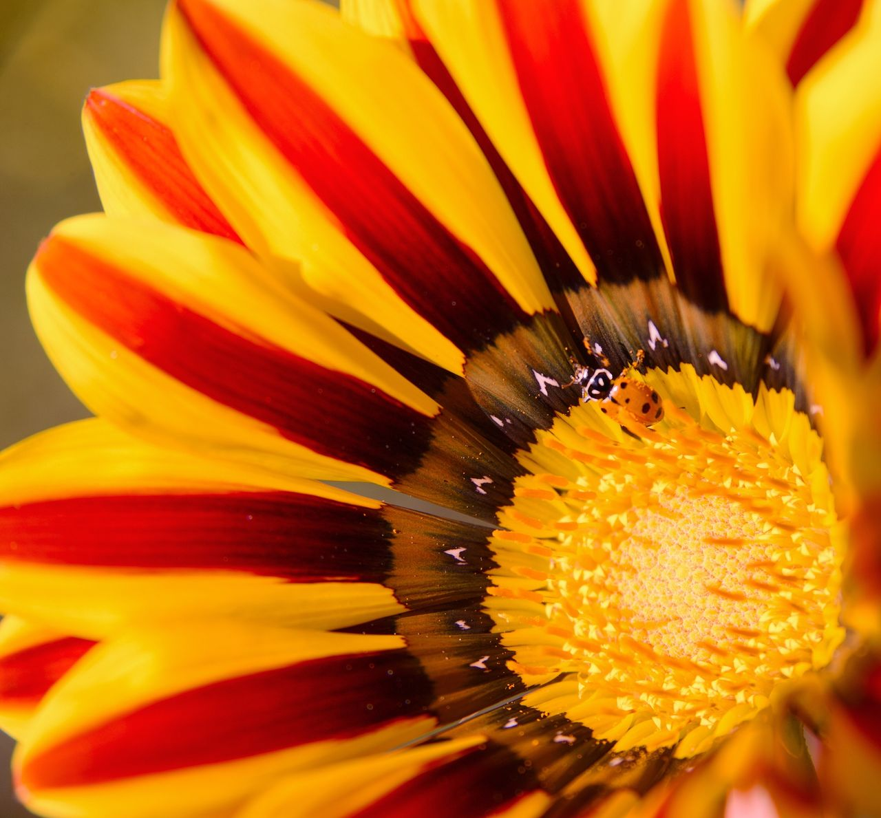 flower, petal, fragility, flower head, beauty in nature, yellow, freshness, pollen, close-up, nature, growth, no people, gazania, outdoors, day, blooming, animal themes, passion flower