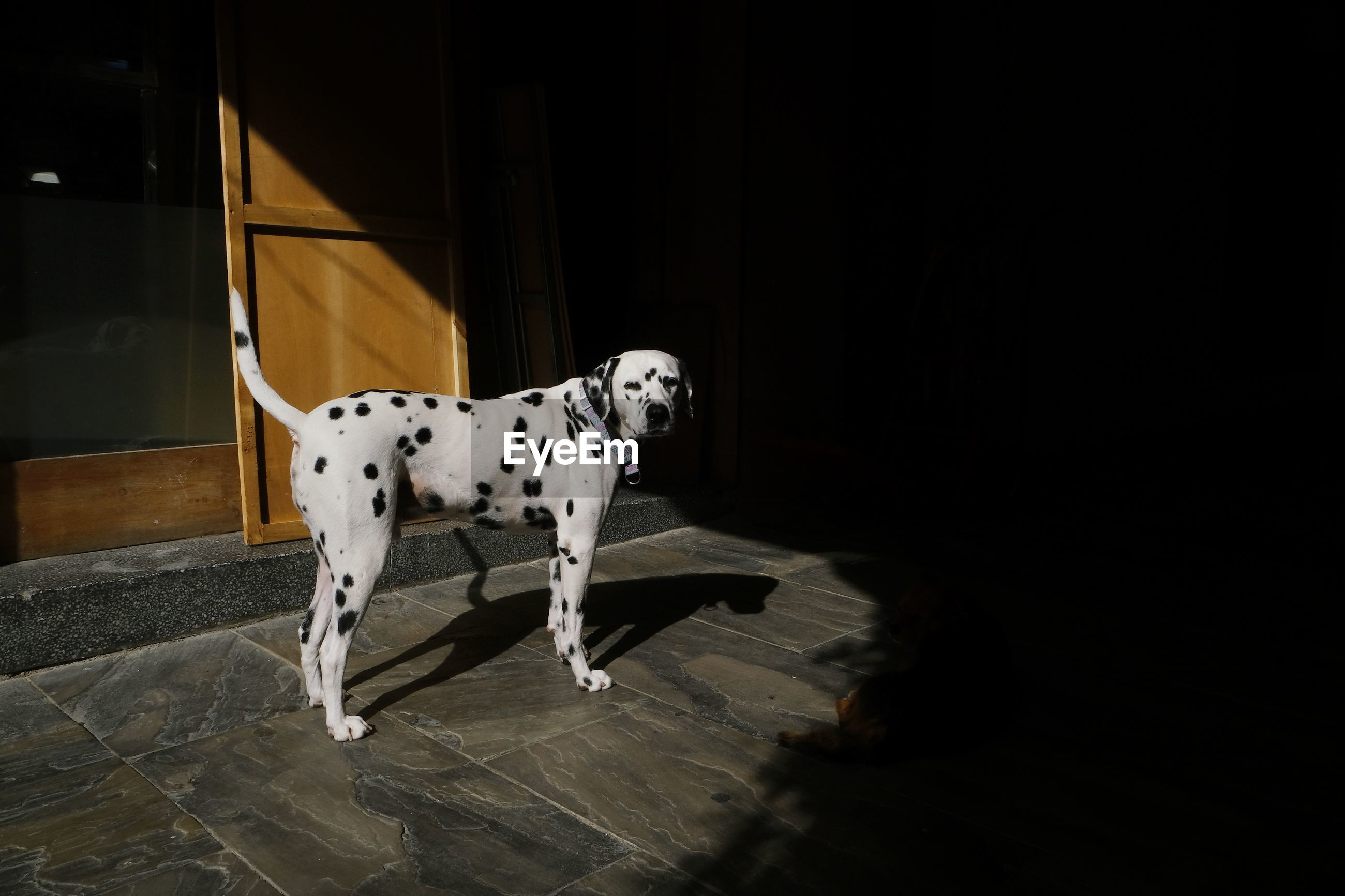 DOG STANDING IN THE HOME