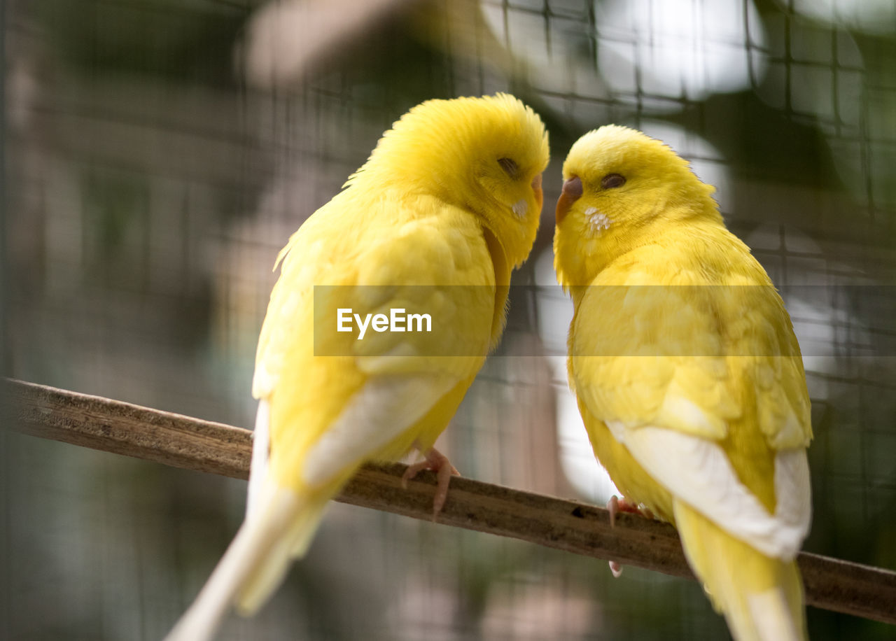 bird, vertebrate, parrot, animal, animal themes, yellow, perching, parakeet, two animals, group of animals, animal wildlife, cage, focus on foreground, no people, animals in captivity, day, birdcage, close-up, animals in the wild, budgerigar, outdoors