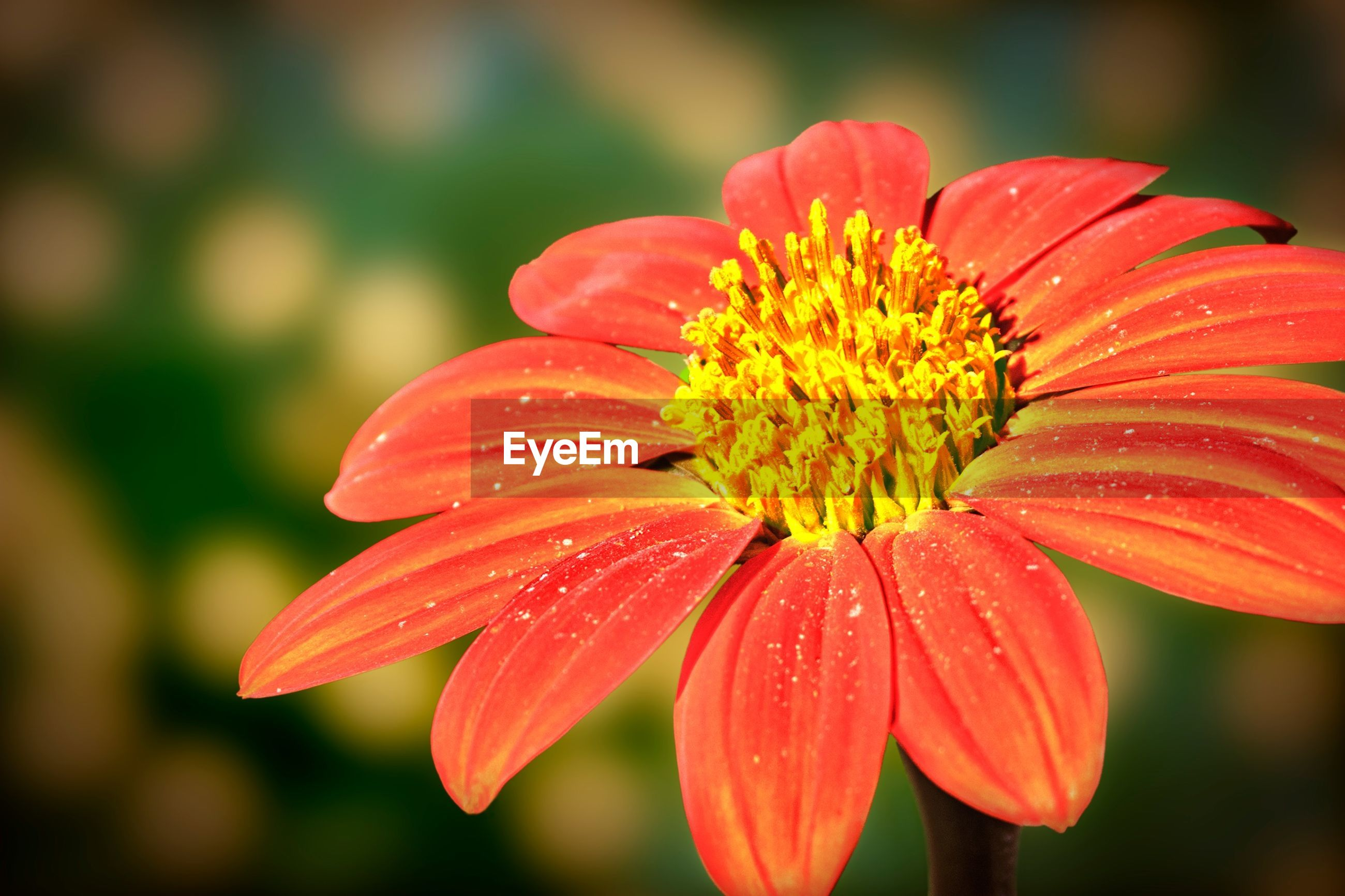 flower, petal, freshness, flower head, fragility, red, close-up, focus on foreground, beauty in nature, single flower, growth, pollen, blooming, drop, nature, water, wet, in bloom, stamen, plant