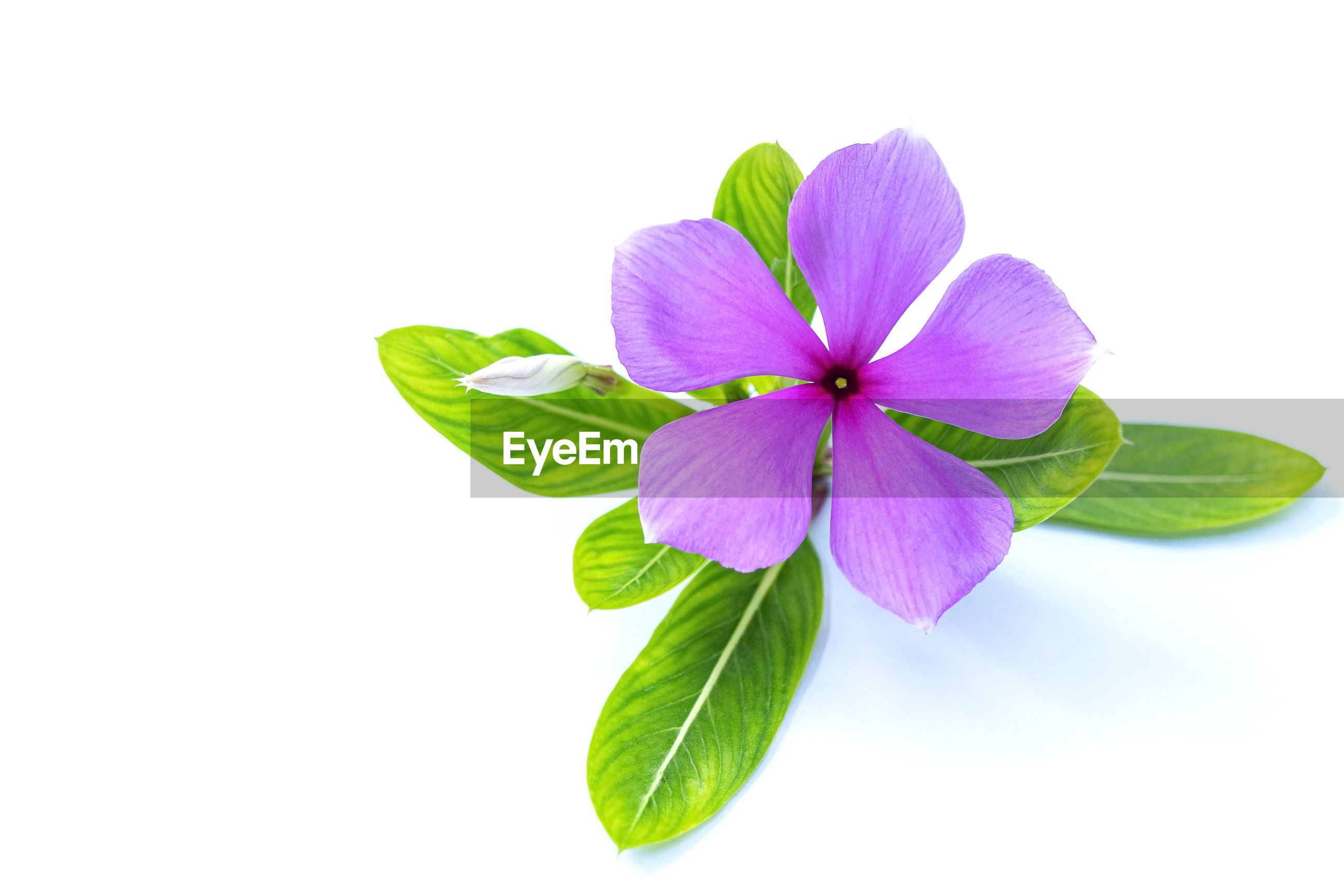 Close-up of purple flowering plant against white background