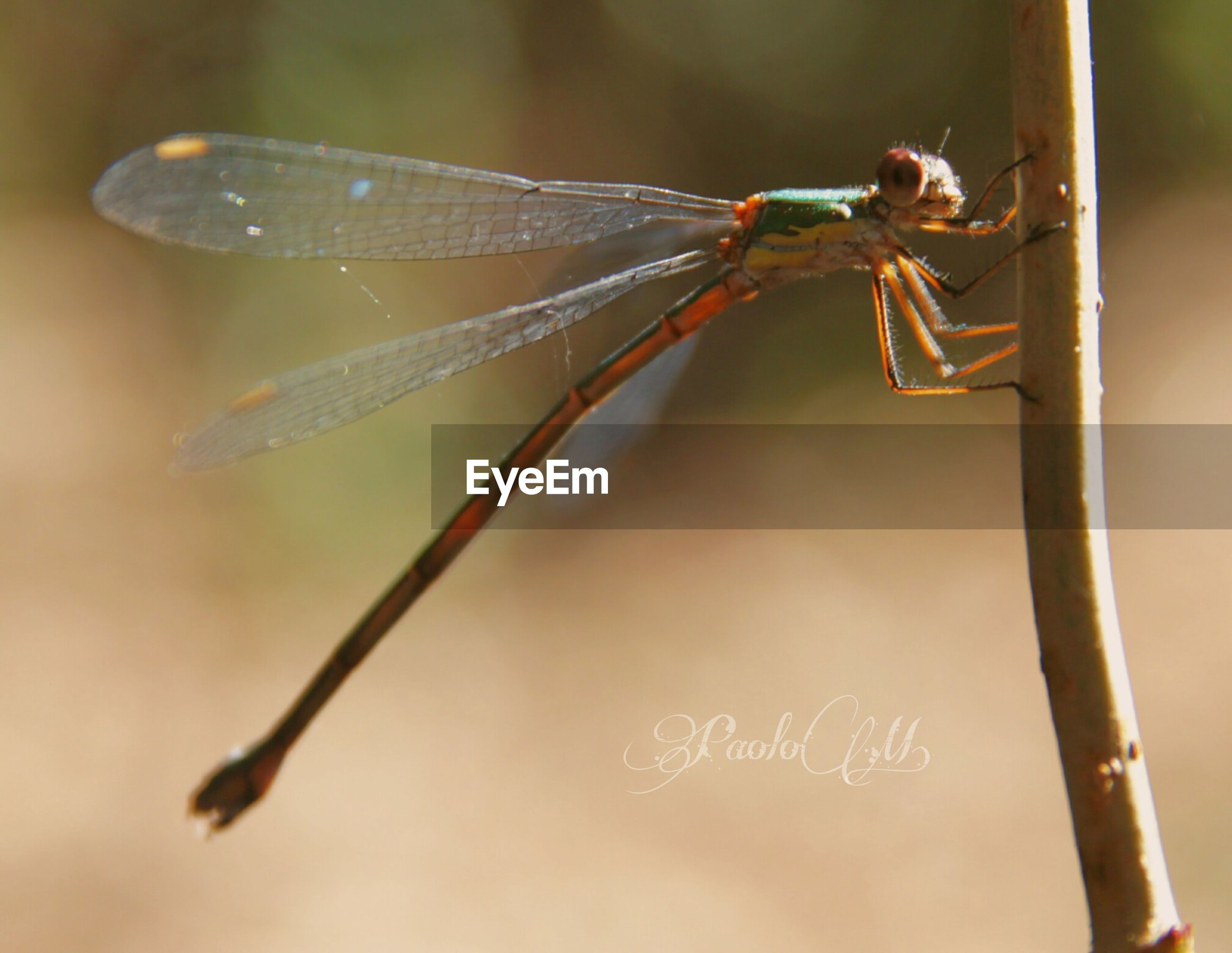 insect, animal themes, one animal, wildlife, animals in the wild, close-up, focus on foreground, plant, nature, animal wing, perching, dragonfly, butterfly, beauty in nature, zoology, growth, day, extreme close-up, no people, pink color, fragility