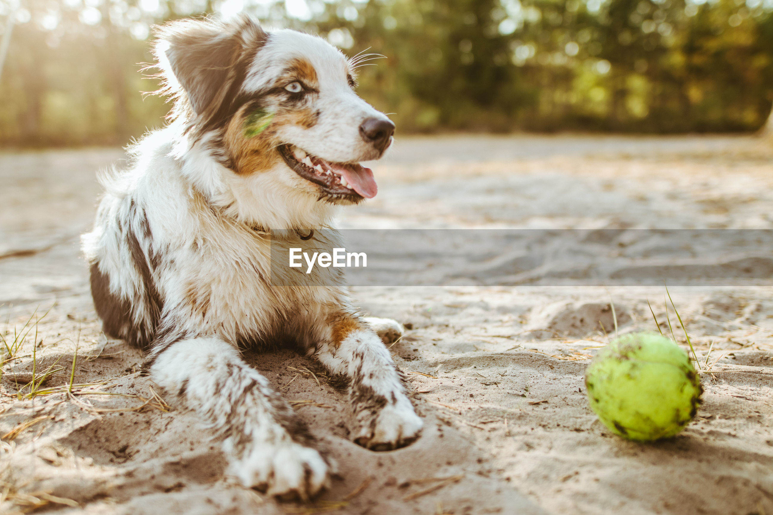 Close-up of dirty dog with ball at beach