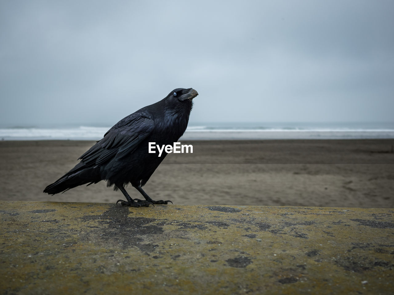 A large raven standing on a concrete ledge near beach on an overcast day.