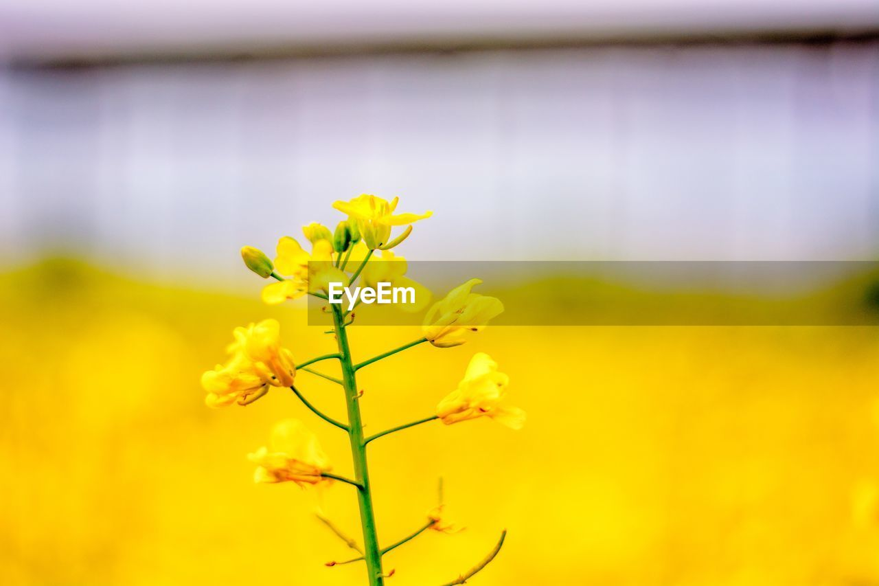 flower, plant, yellow, fragility, flowering plant, vulnerability, beauty in nature, growth, freshness, close-up, nature, selective focus, day, no people, petal, plant stem, focus on foreground, botany, flower head, outdoors, springtime