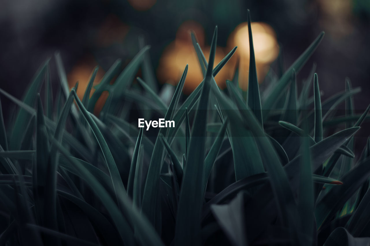 growth, plant, green color, selective focus, close-up, nature, no people, beauty in nature, field, grass, land, day, plant part, freshness, leaf, blade of grass, tranquility, fragility, vulnerability, outdoors, dew