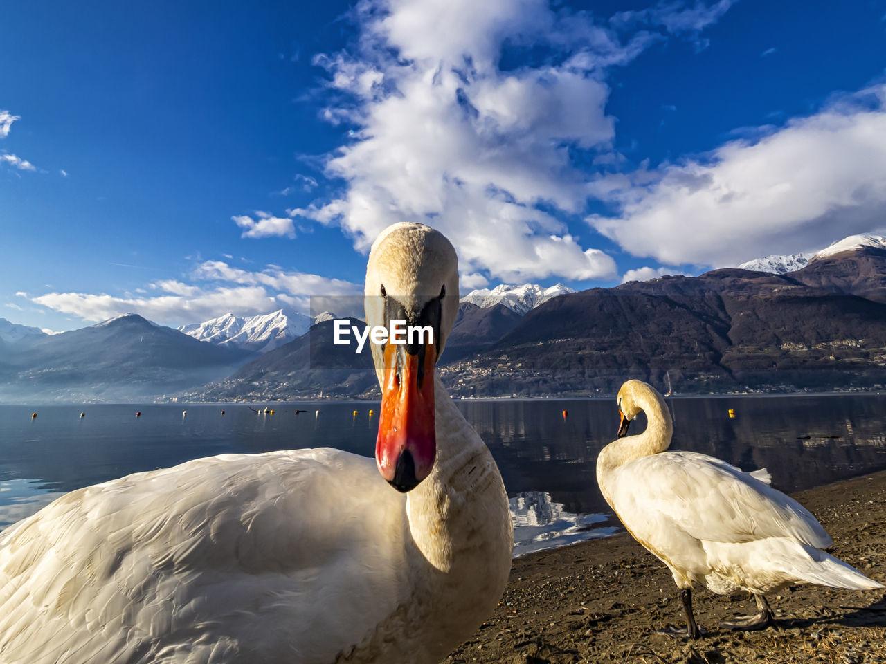 Swan head close-up on lake como