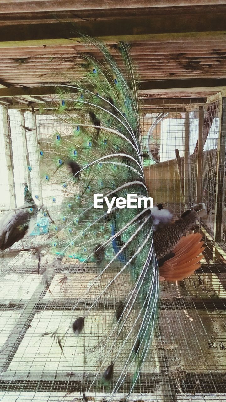animal themes, animal, bird, vertebrate, animal wildlife, animals in the wild, one animal, no people, feather, peacock, close-up, animals in captivity, cage, day, male animal, birdcage, fanned out, nature
