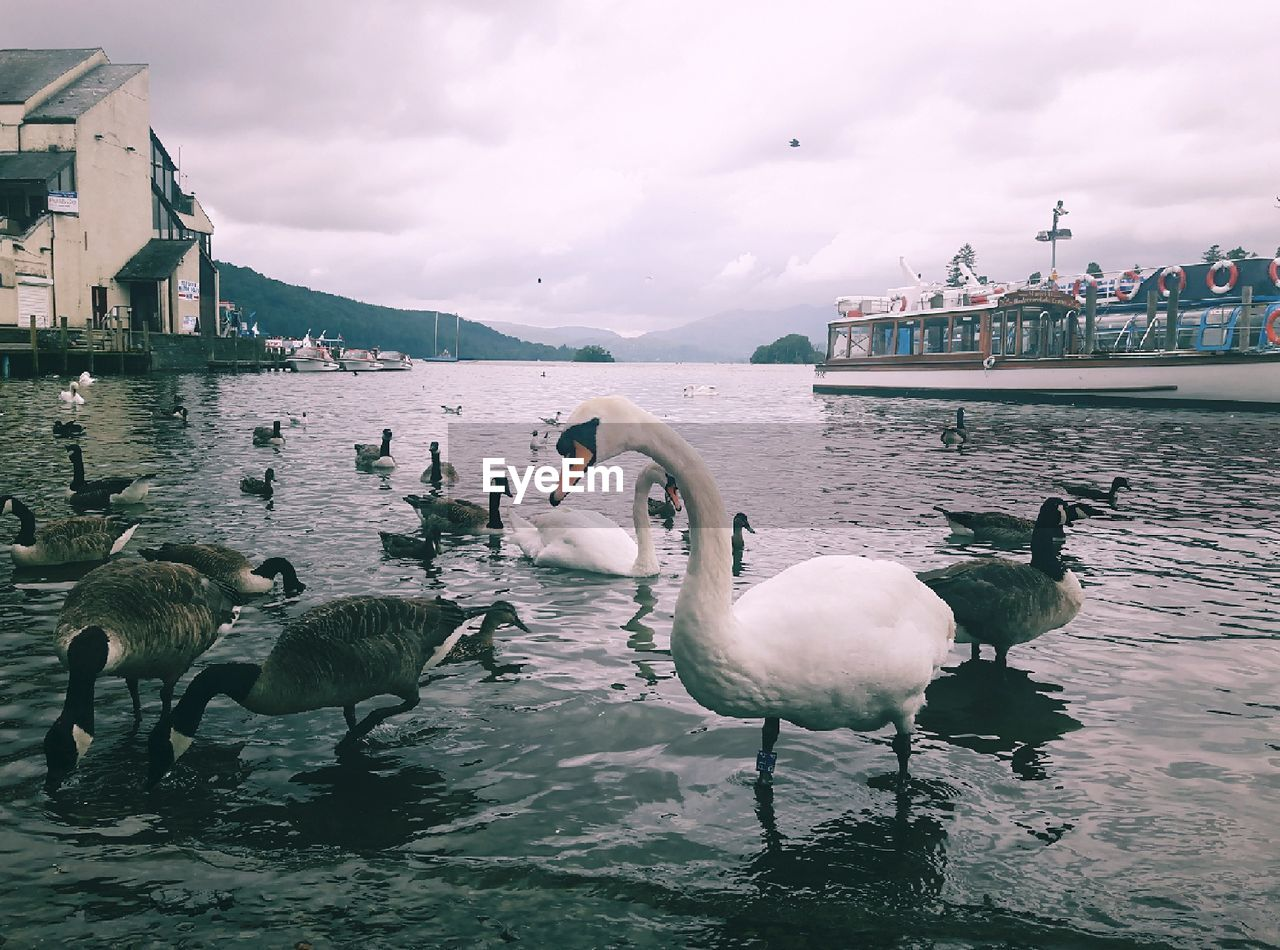 Mute Swans And Canada Geese In Lake