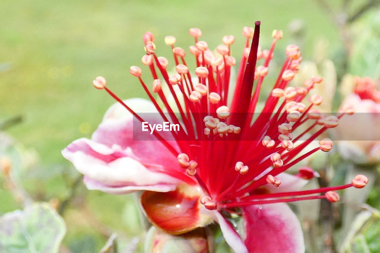 flower, flowering plant, plant, vulnerability, fragility, growth, freshness, beauty in nature, petal, close-up, red, flower head, inflorescence, day, pollen, nature, focus on foreground, pink color, selective focus, no people, outdoors
