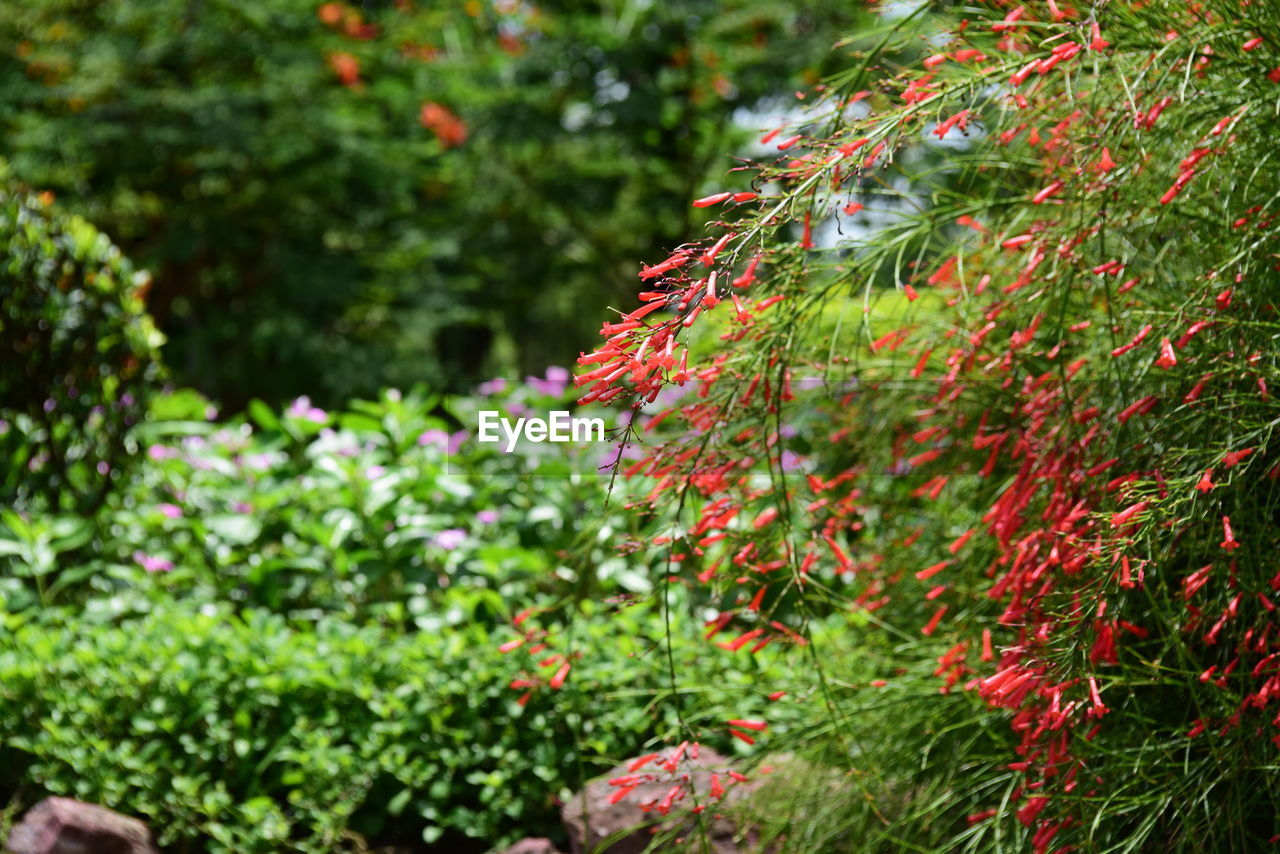 plant, growth, beauty in nature, green color, nature, day, red, no people, selective focus, tree, freshness, focus on foreground, close-up, plant part, leaf, flowering plant, outdoors, flower, tranquility, botany