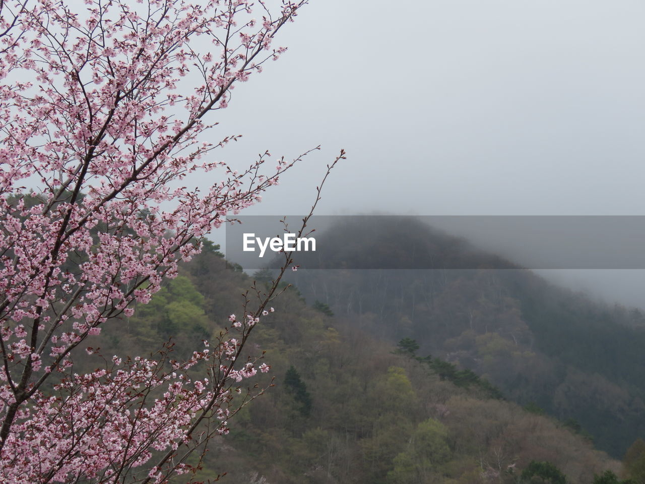 plant, tree, beauty in nature, flower, growth, flowering plant, nature, pink color, branch, springtime, tranquility, mountain, sky, scenics - nature, day, freshness, blossom, tranquil scene, no people, outdoors, cherry blossom, cherry tree