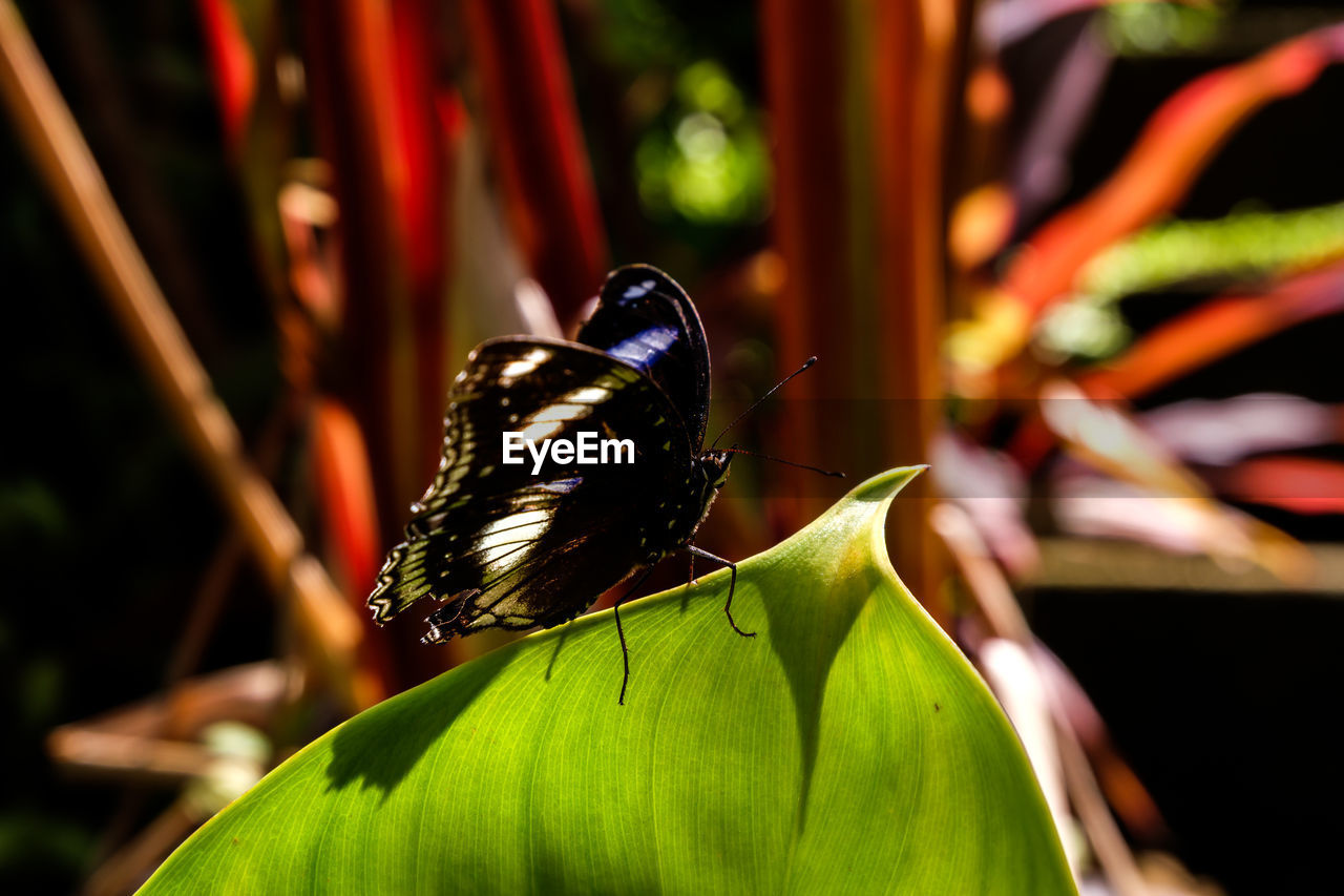 insect, animal themes, animal, animals in the wild, invertebrate, animal wildlife, one animal, close-up, focus on foreground, day, animal wing, nature, plant, beauty in nature, plant part, leaf, growth, no people, butterfly - insect, flower, pollination, butterfly