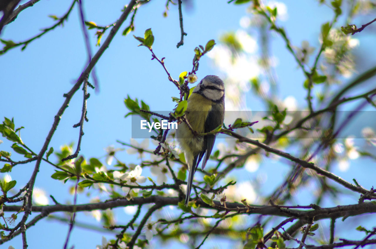 tree, one animal, animal themes, animal, branch, plant, low angle view, vertebrate, bird, animal wildlife, animals in the wild, perching, nature, sky, no people, day, selective focus, beauty in nature, sunlight, bluetit
