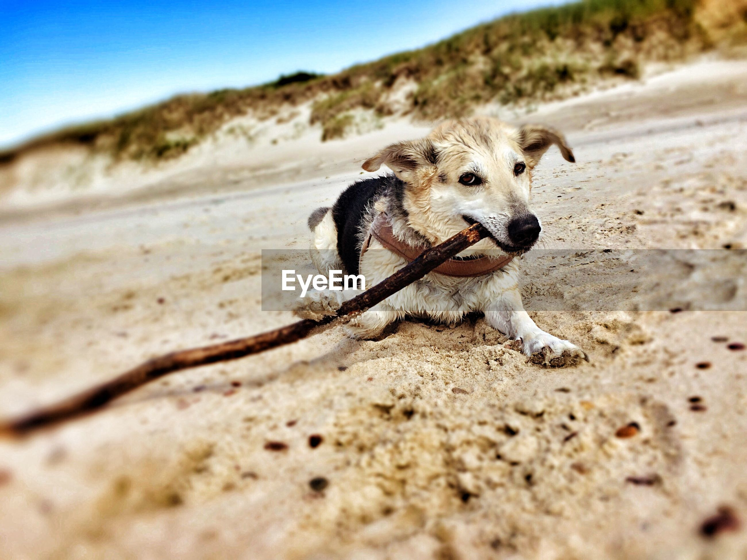 Dog sitting on beach holding wood stick in mouth
