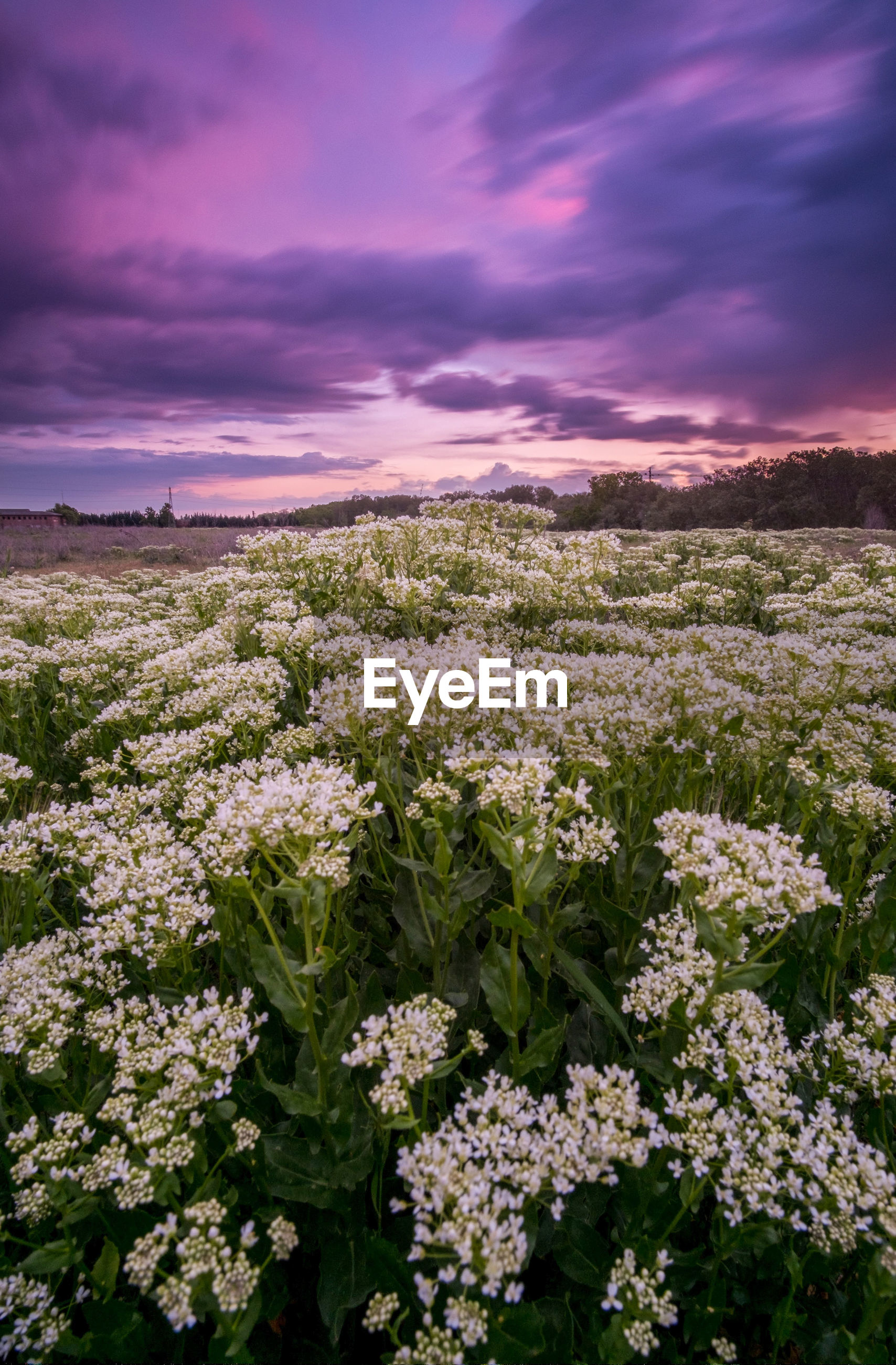 PINK FLOWERING PLANTS ON FIELD AGAINST SKY