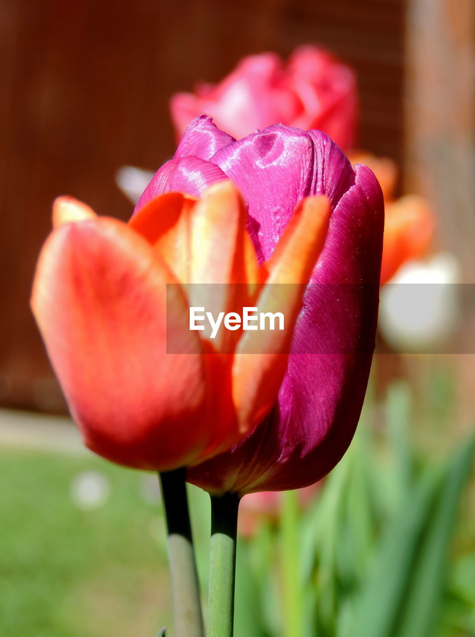 vulnerability, flowering plant, flower, fragility, freshness, plant, beauty in nature, petal, close-up, inflorescence, flower head, growth, focus on foreground, nature, no people, tulip, day, pink color, red, outdoors