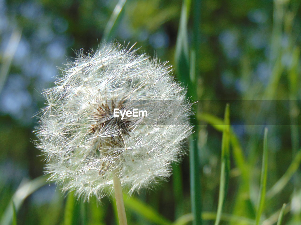 flower, dandelion, fragility, plant, flowering plant, freshness, vulnerability, beauty in nature, focus on foreground, close-up, growth, inflorescence, flower head, nature, softness, day, white color, dandelion seed, no people, outdoors