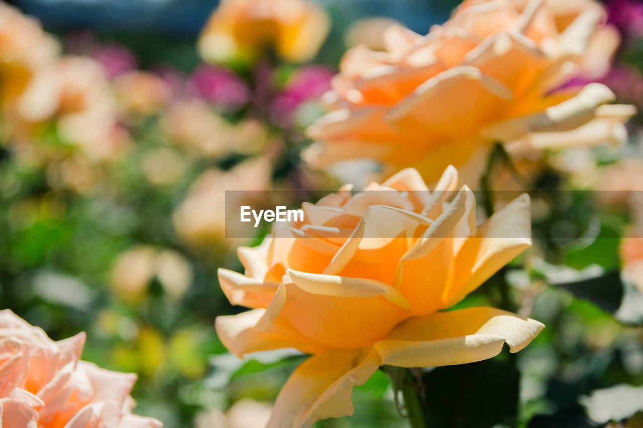 flowering plant, plant, flower, beauty in nature, vulnerability, freshness, petal, fragility, close-up, flower head, inflorescence, growth, focus on foreground, nature, orange color, no people, day, outdoors, rose, coral colored