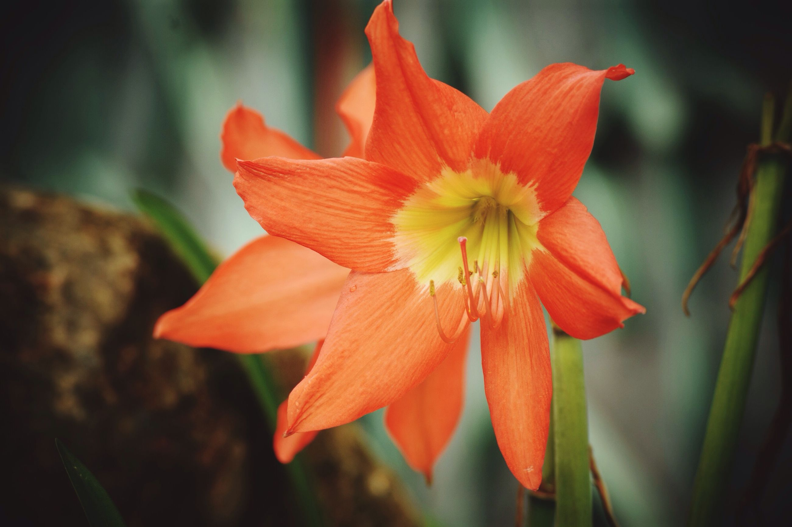 CLOSE-UP OF ORANGE DAY LILY BLOOMING