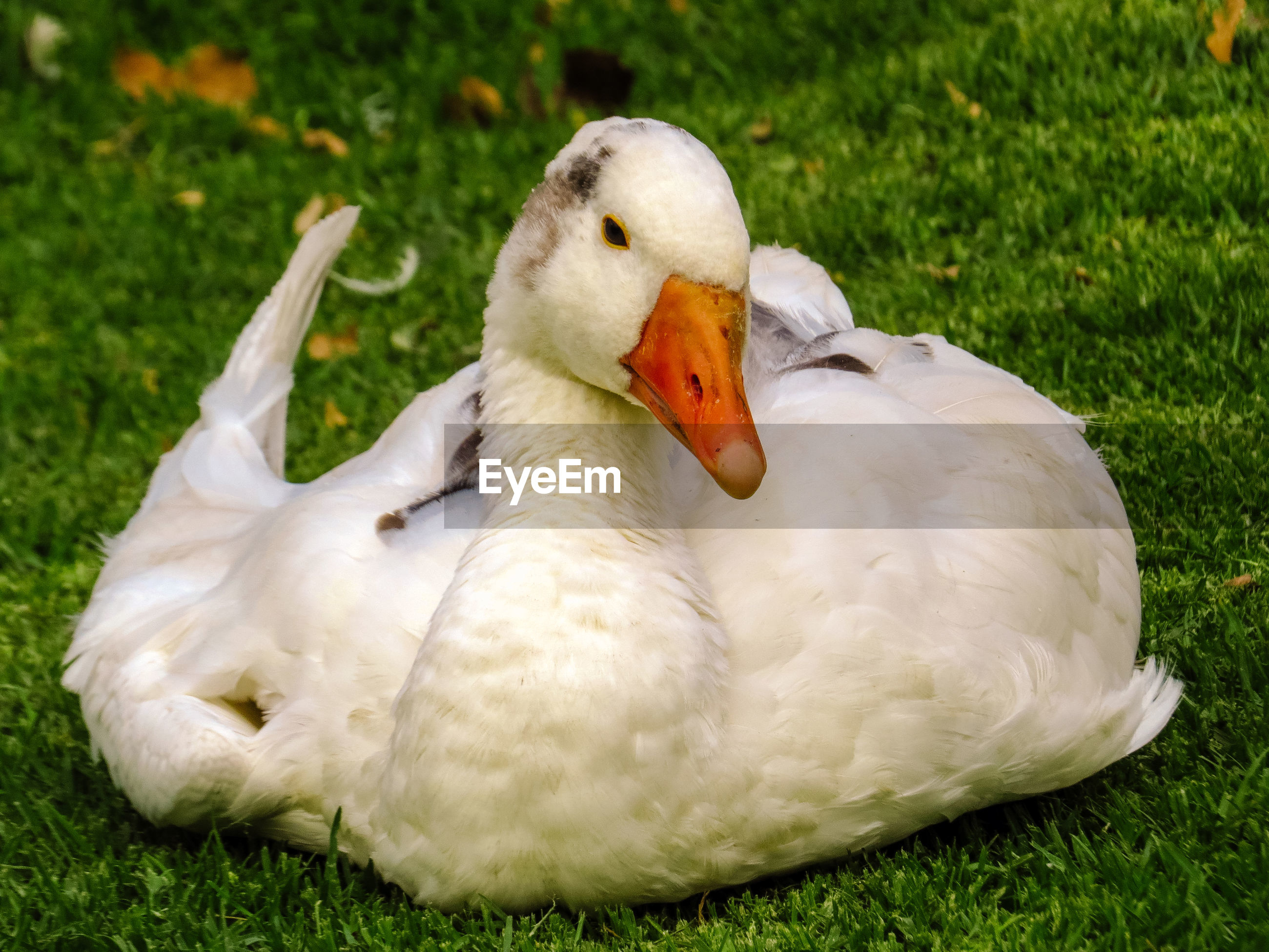 White duck on field